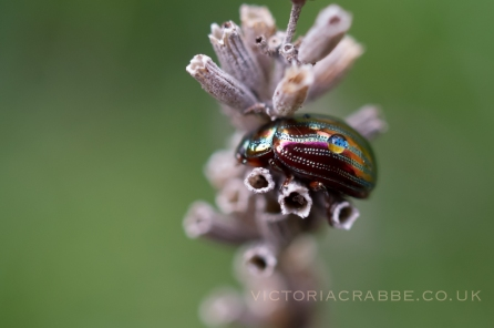 Rainbug